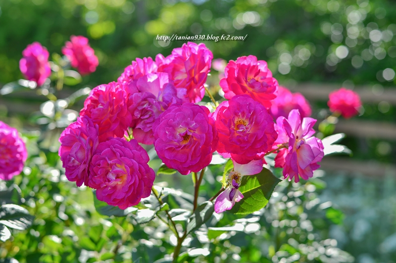 薔薇 ongaku2