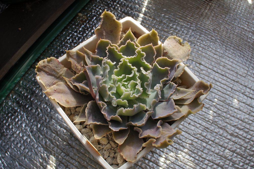 シャビアナペレグリナ02