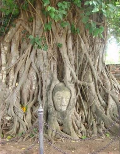 2015-6-11巨木にはさまれた仏像の首