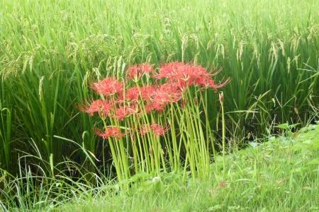 西日本07 鳥取県 田んぼのあぜ道に咲いていた曼珠沙華