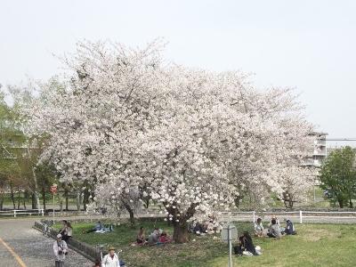 150430_桜 1 (400x300)