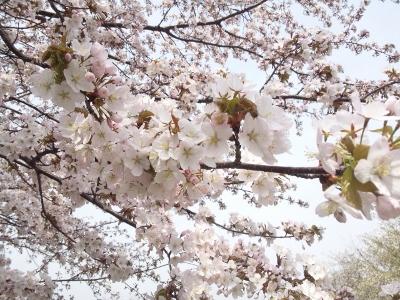 150430_桜 2 (400x300)