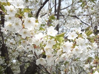 150430_桜 3 (400x300)