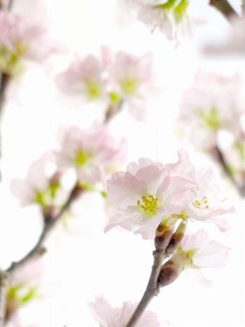 100204啓翁桜