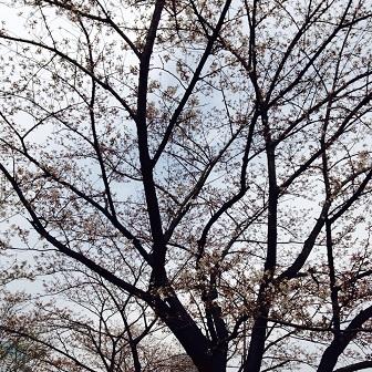 2015-04 Sakura 01