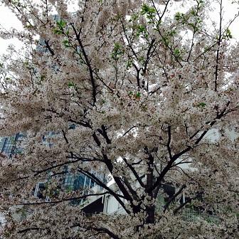 2015-04 Sakura 02