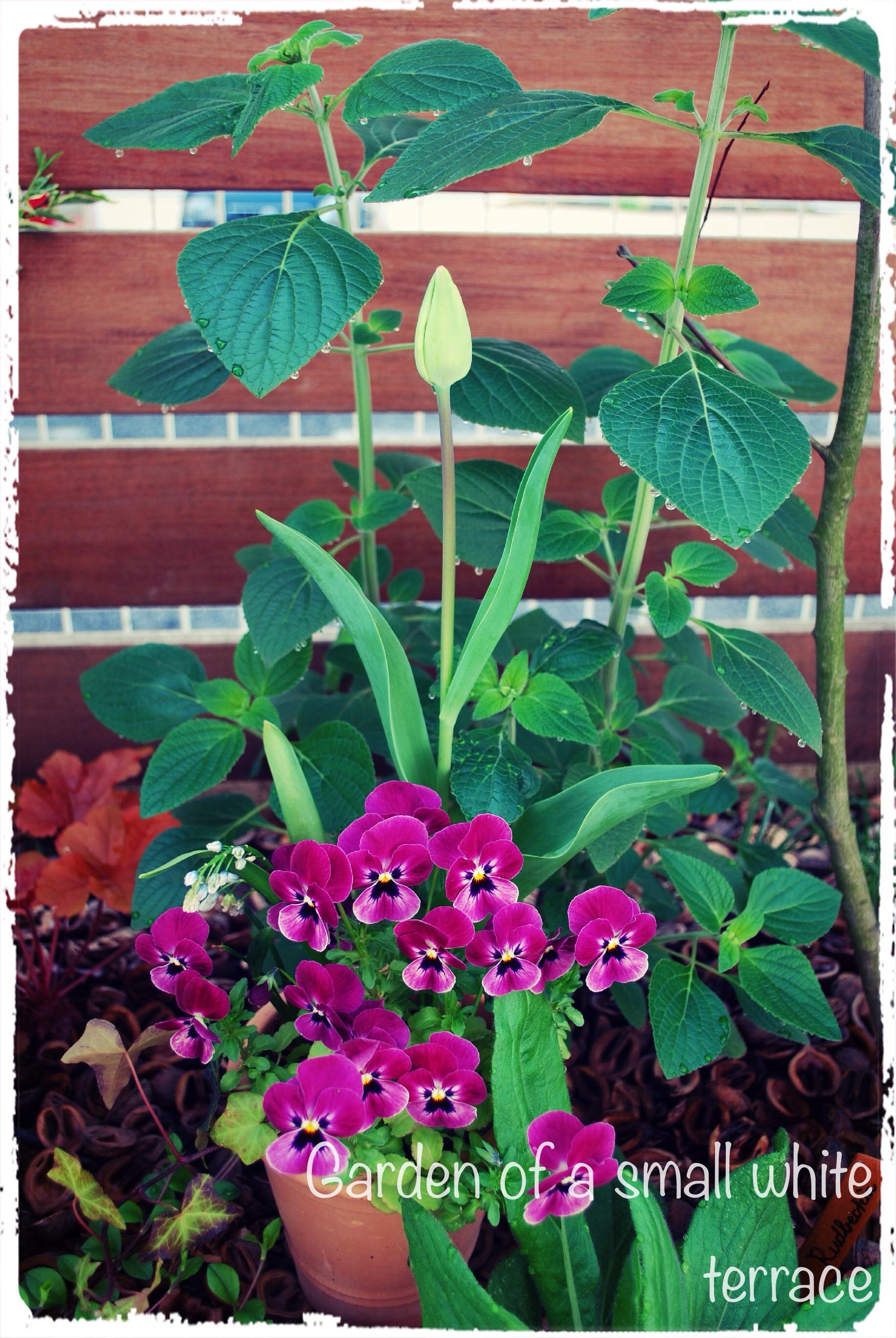 ビオラとチューリップの寄せ植え