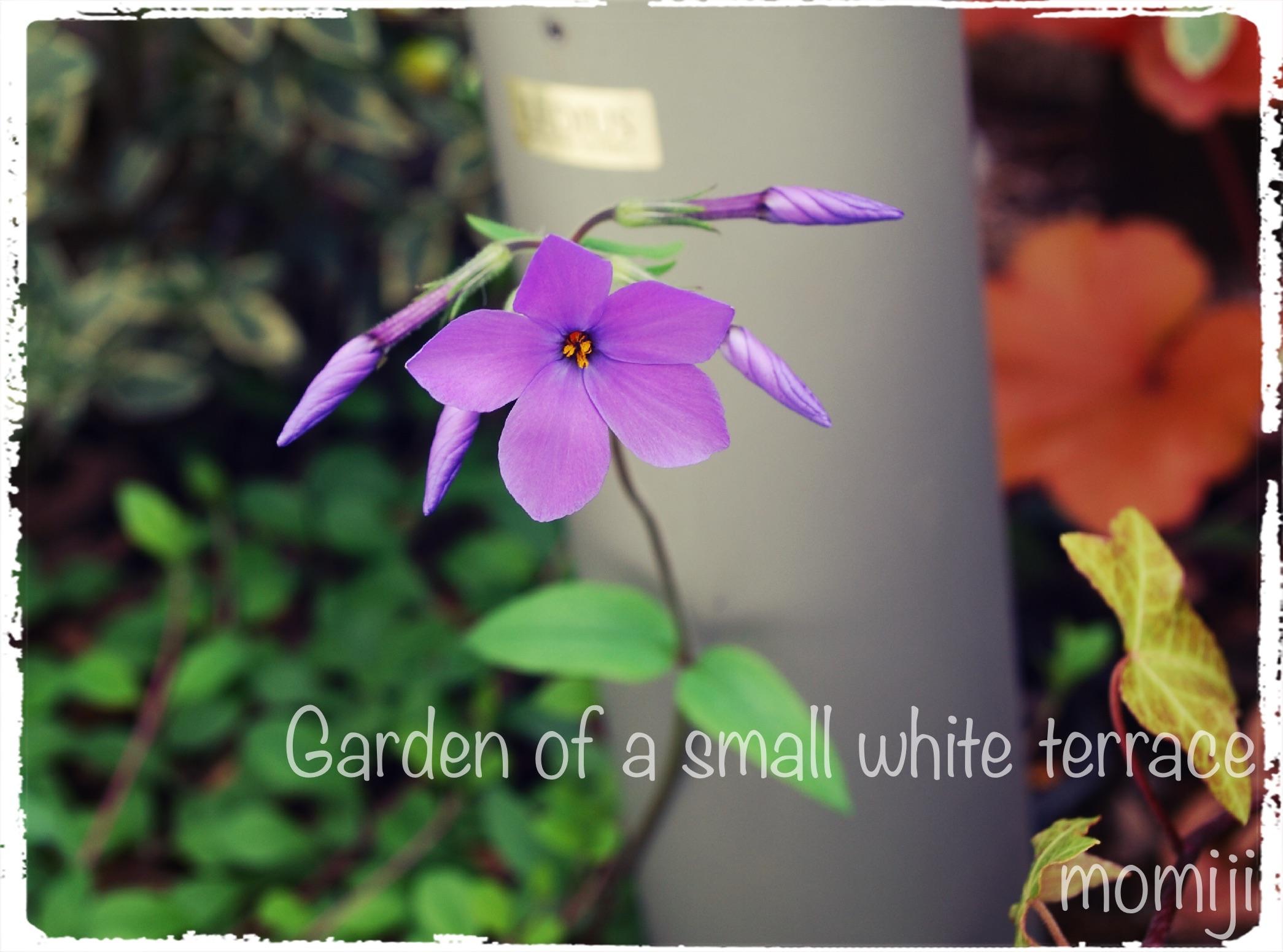 ツルハナシノブの開花