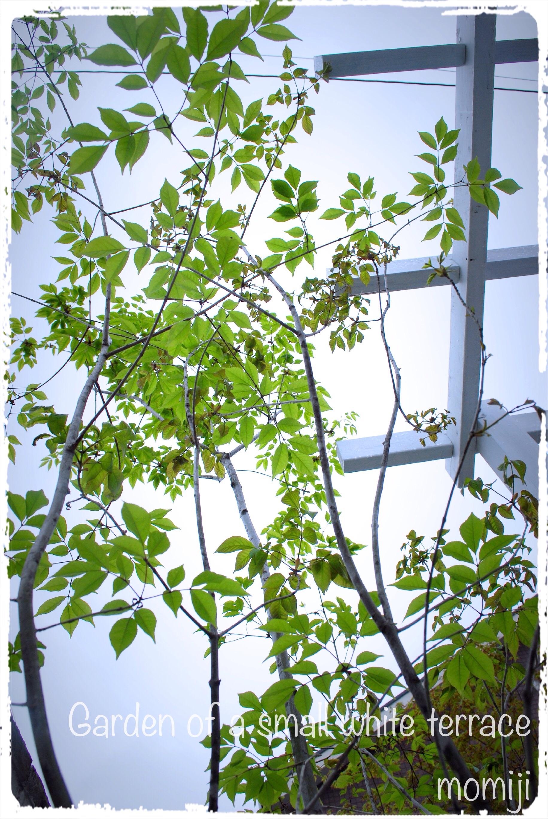 新緑のアオダモとパーゴラ