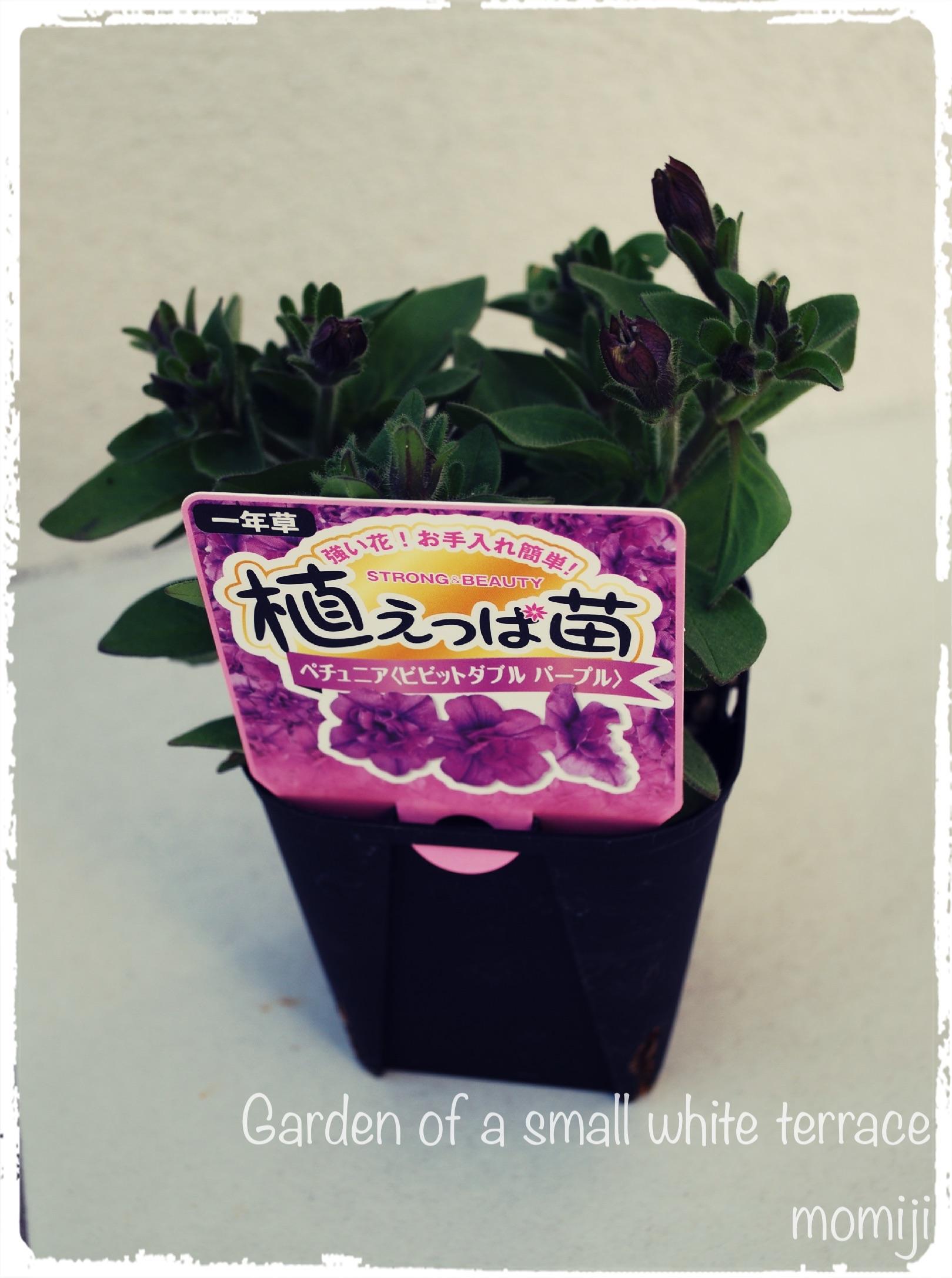 植えっぱ苗 ペチュニア
