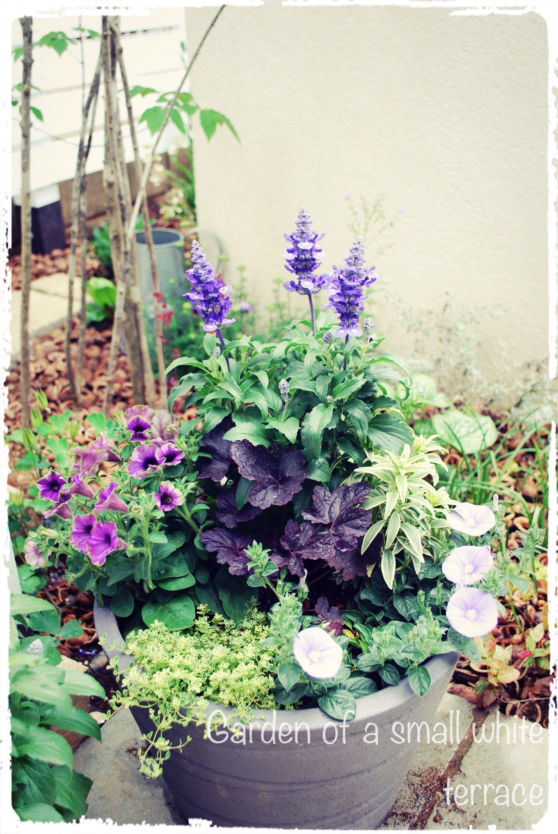 夏の寄せ植え ブルー