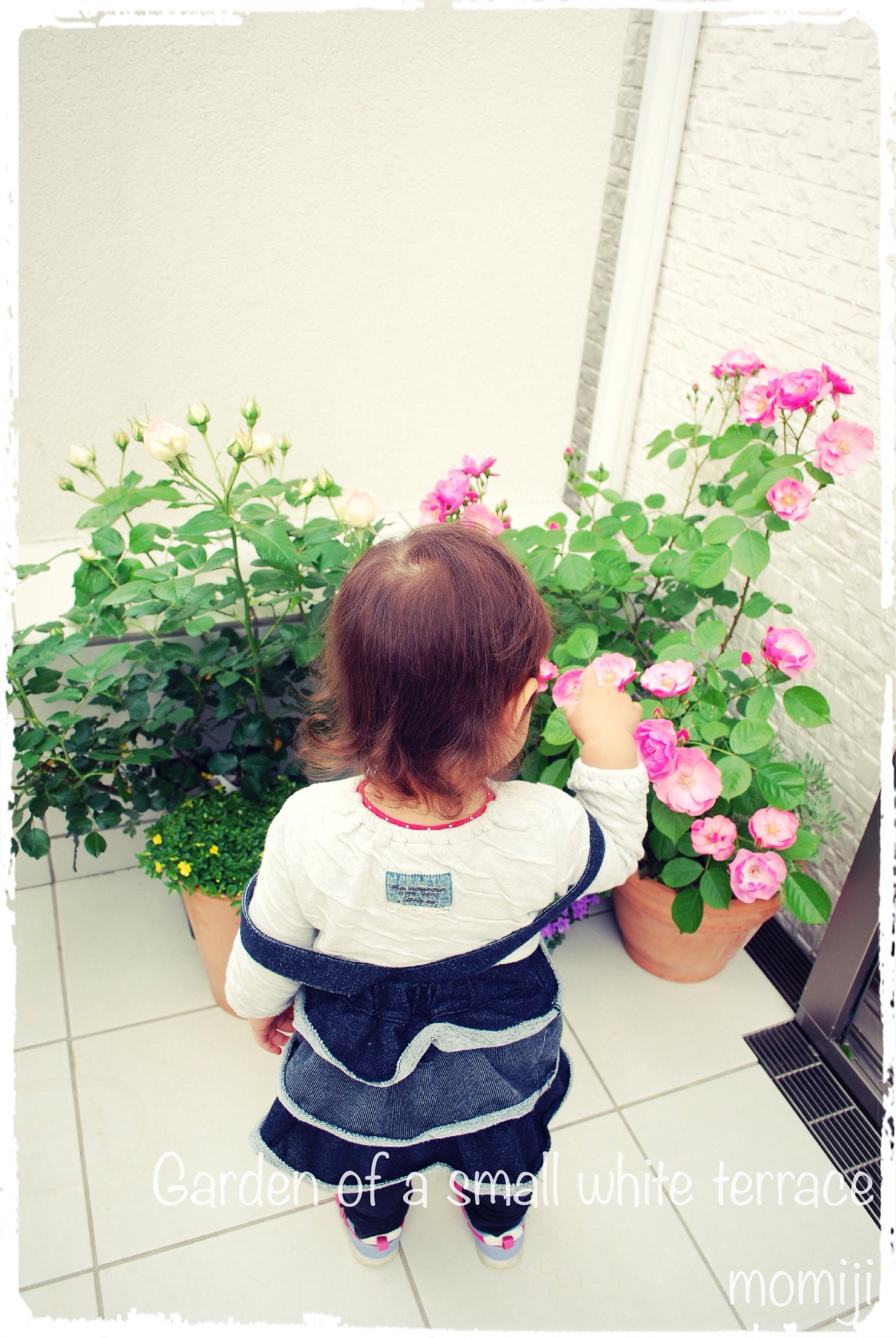 バラ鉢の移動