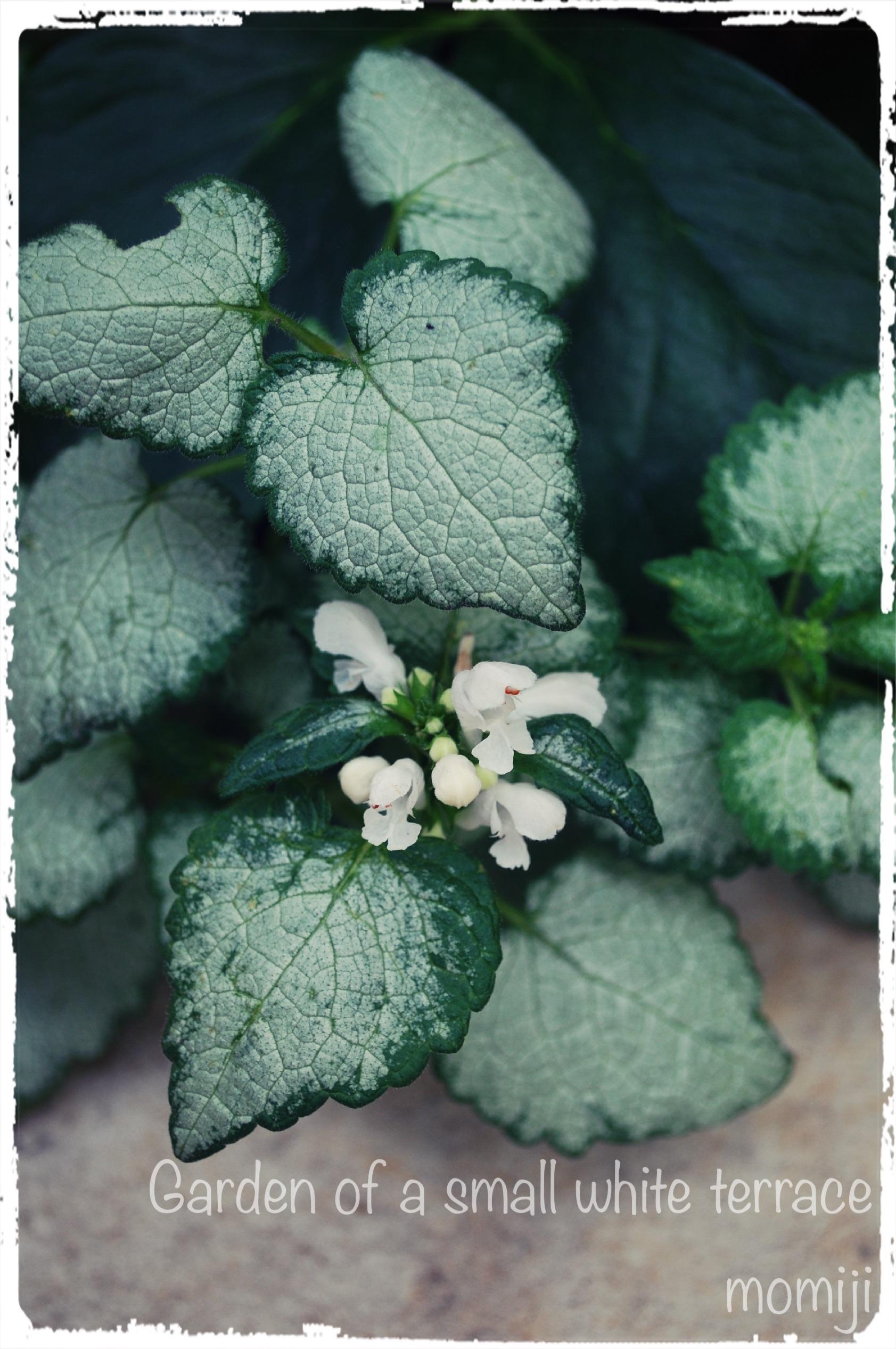 ラミウムの花