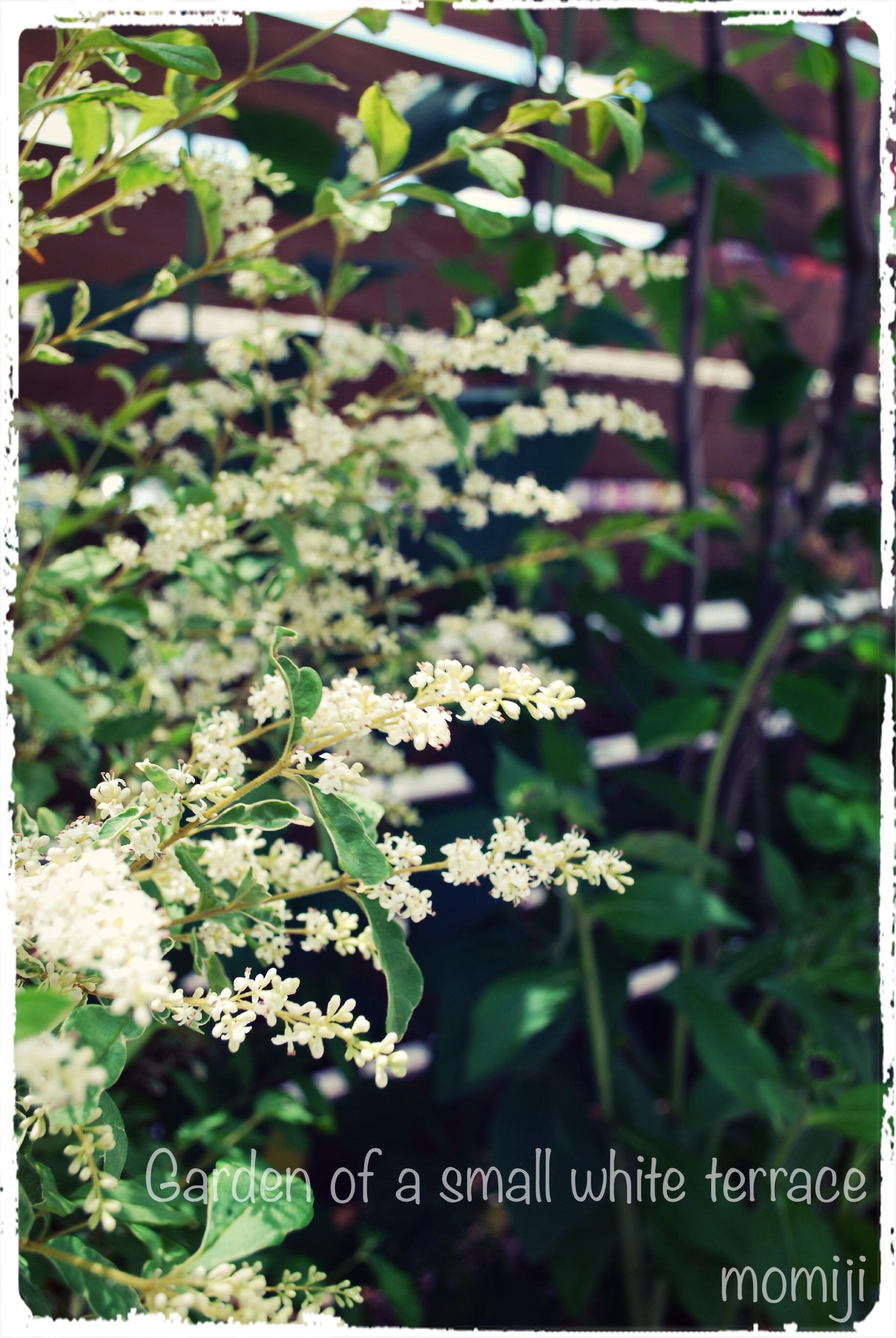 シルバープリペットの花