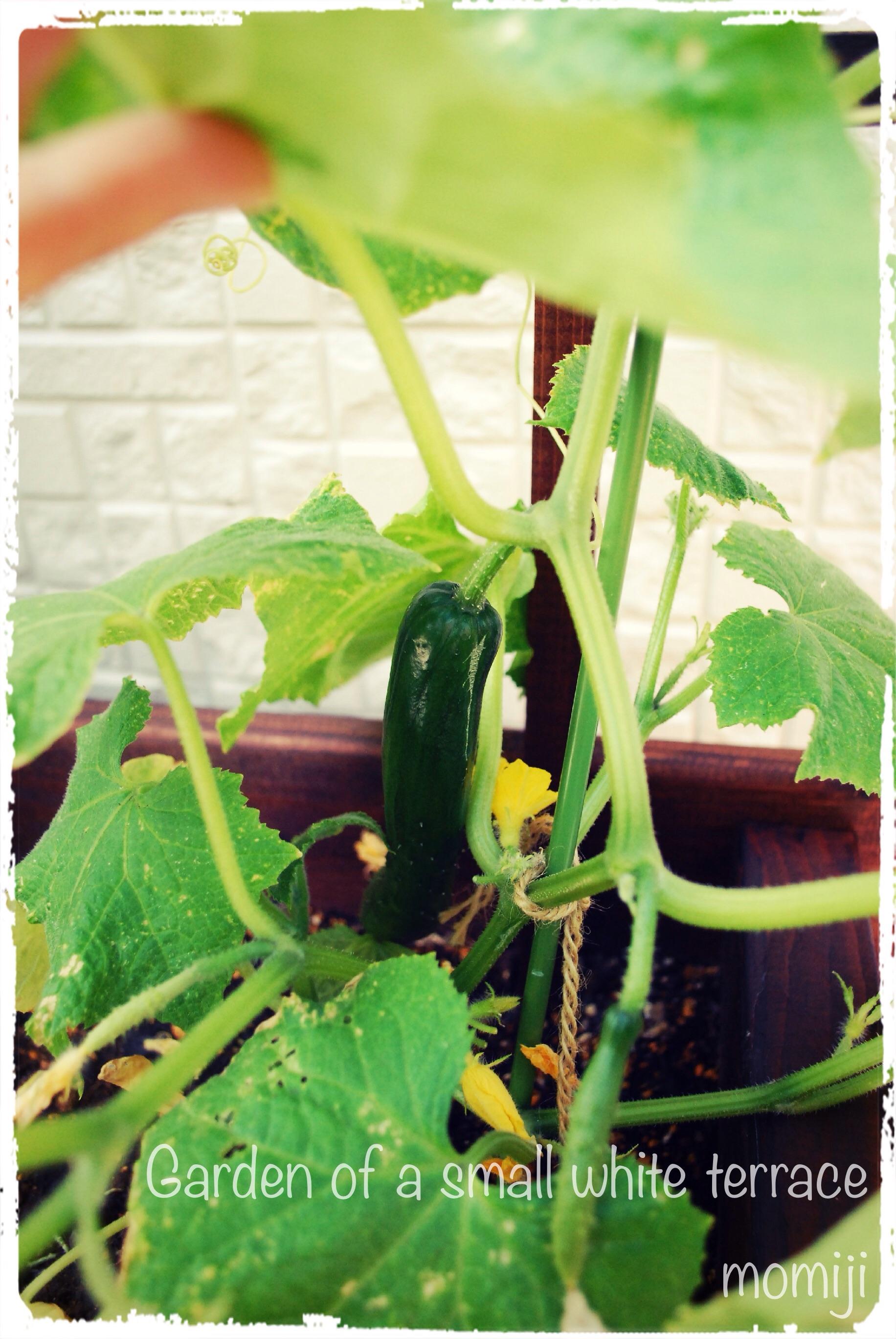 きゅうり 家庭菜園 プランター