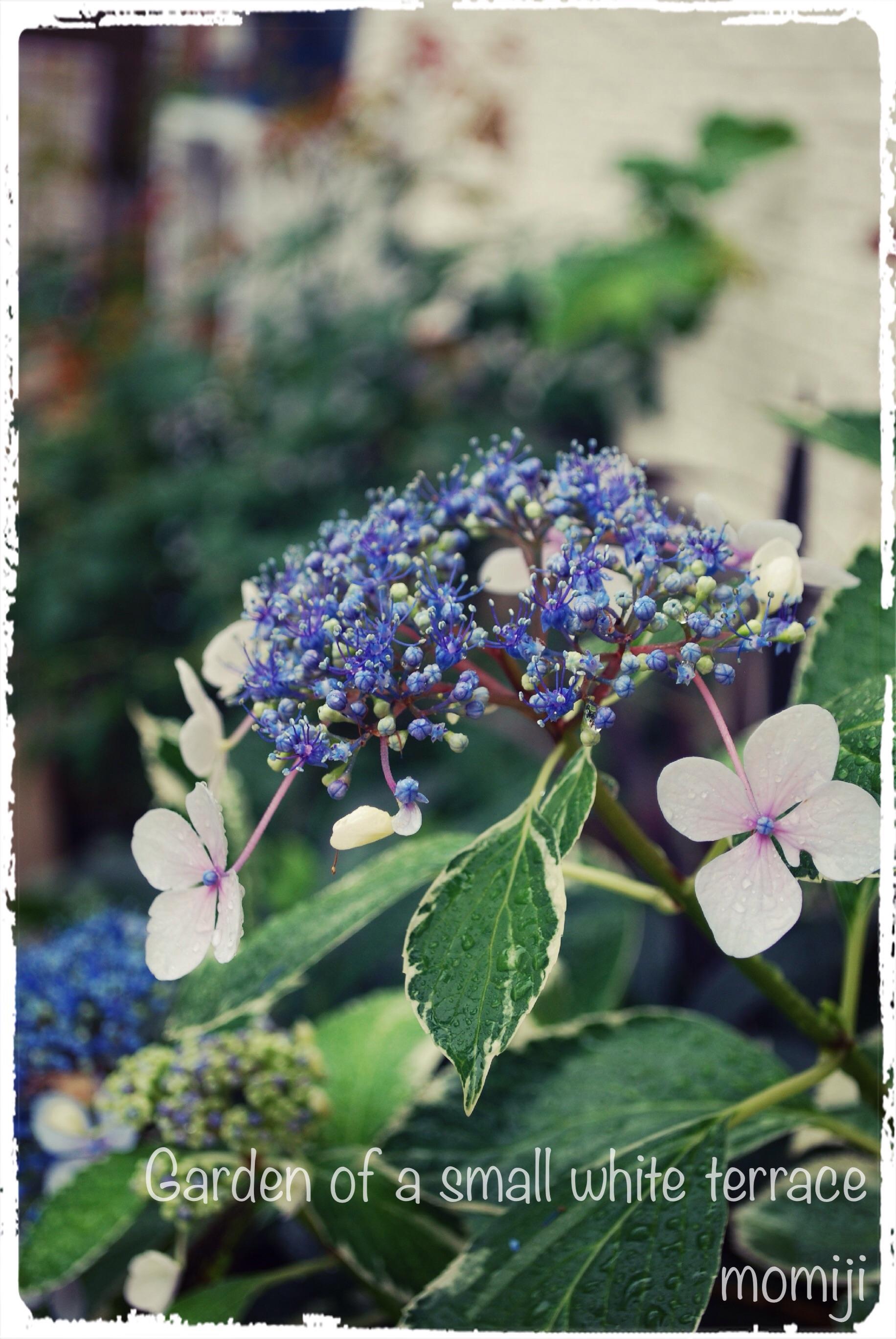 斑入り紫陽花