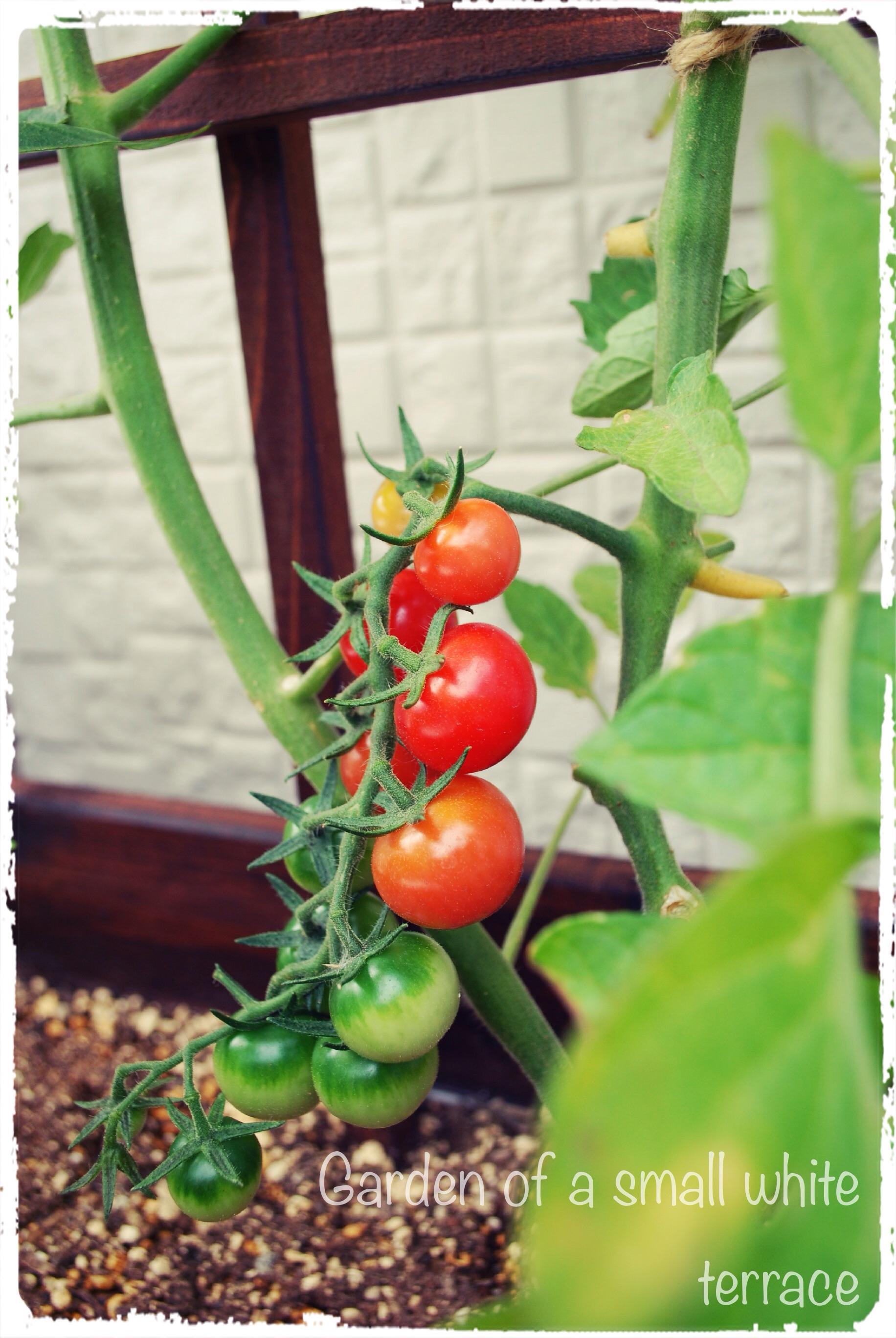 プランター 菜園 トマト