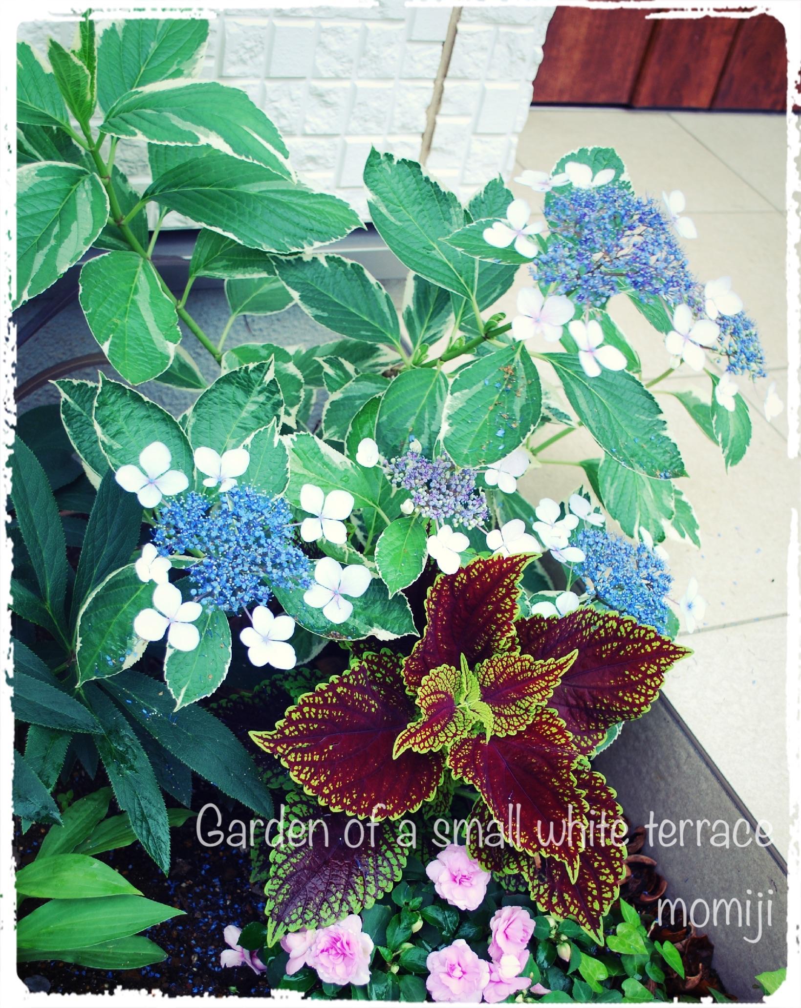 斑入り紫陽花 アジサイ