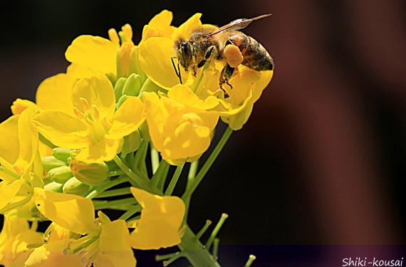 菜の花・ミツバチ