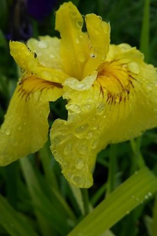 黄色い花菖蒲