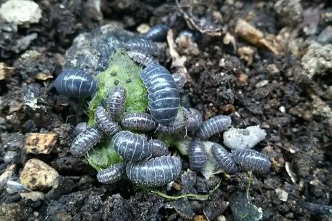 ダンゴムシ大繁殖