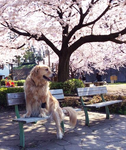 桜とマロン