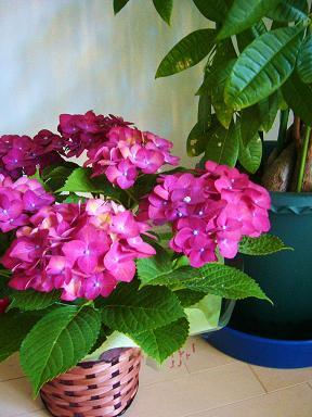 紫陽花母の日