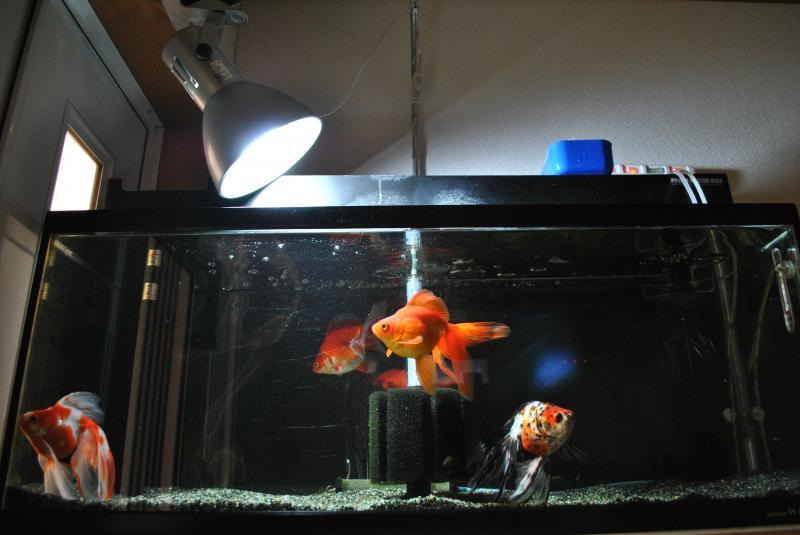 2015/3/14 金魚水槽2