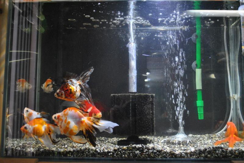 2015/3/14 金魚水槽3