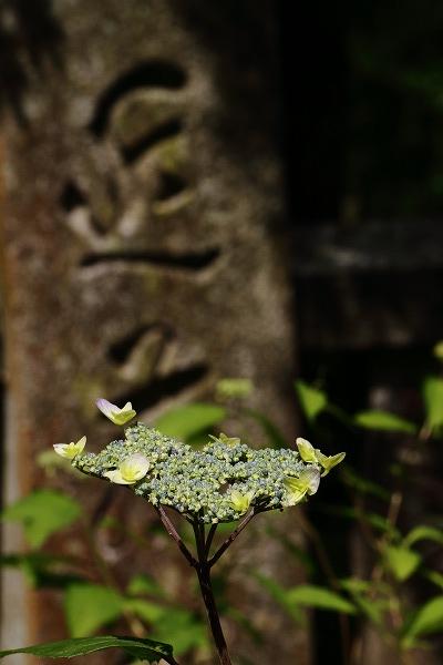 惣河内神社山紫陽花 03