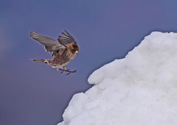 ハギマシコ雪7 -066