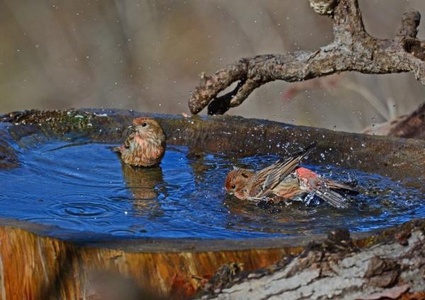 オオマシコ水浴 -046