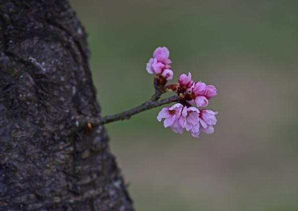 安行寒桜 北浅羽-053