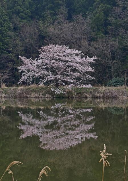 ソメイヨシノ 越生-059