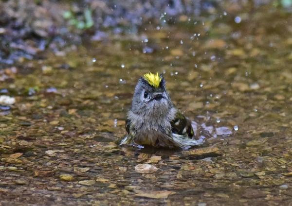 キクイタダキ水浴び1 -20