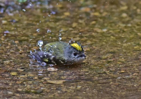 キクイタダキ水浴び2 -20