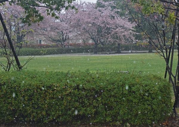 雪と桜 自宅-049