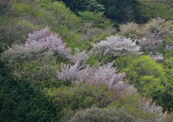 山桜と新緑 -020