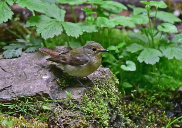 キビタキ雌1 -098