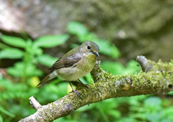 キビタキ雌2 -074