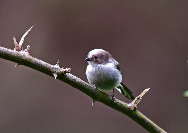 エナガ幼鳥1 -107