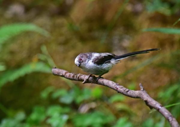 エナガ幼鳥3 -122