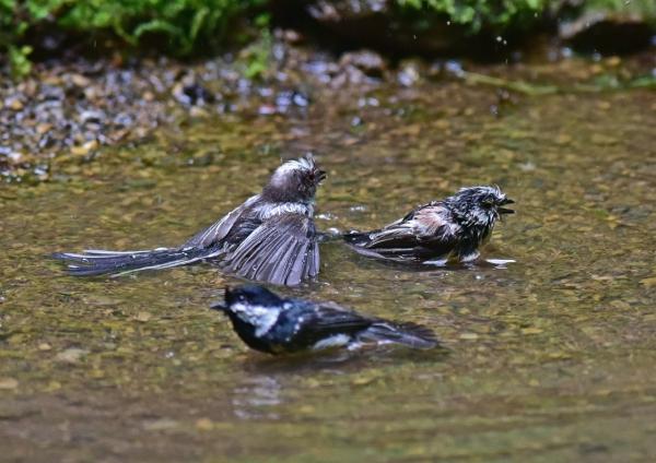 エナガ幼鳥とヒガラ5 -101