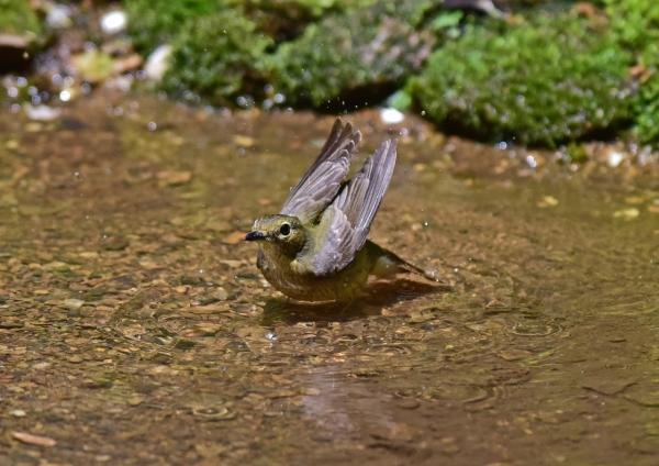 キビタキ雌4 -003