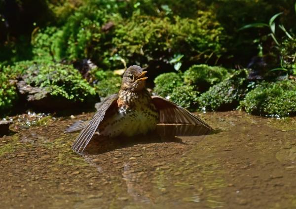 クロツグミ雌1 -013-(2)