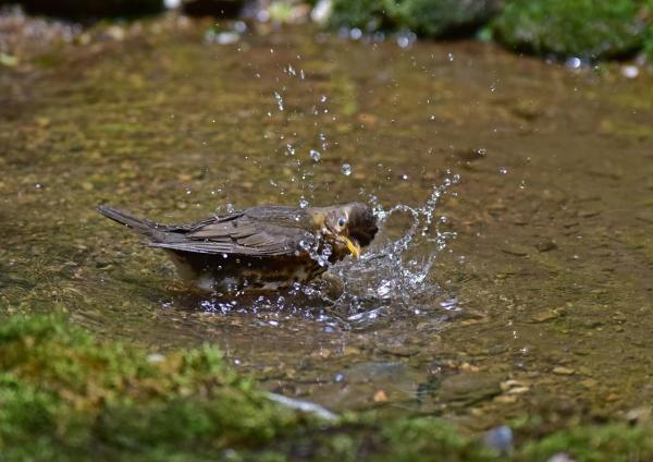 クロツグミ雌3 -047-(2)