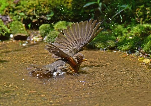 クロツグミ雌5 -052