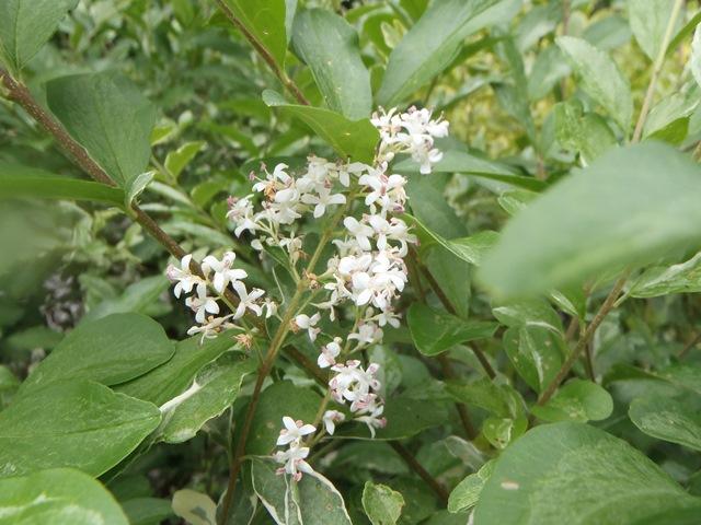 シルバ-プリペッドの花20150608