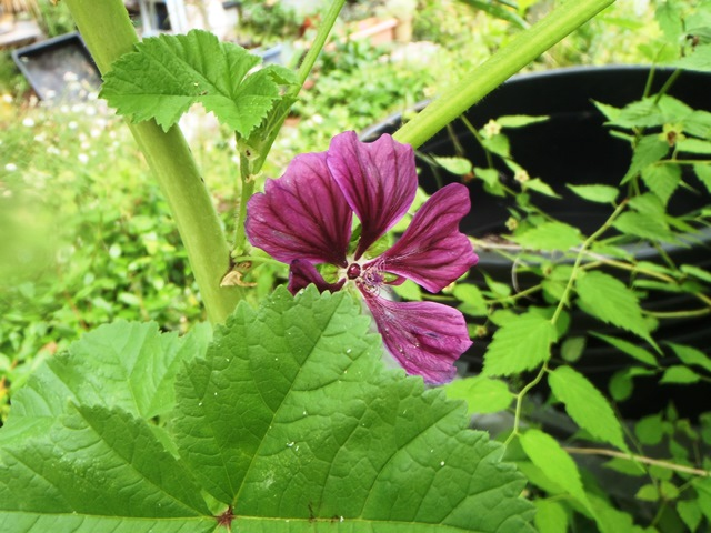 コモンマロ-の花202150608