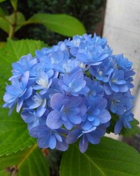 紫陽花ときじこ1